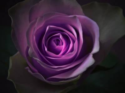 Purple Rose Flower - Macro Flower Photograph Poster