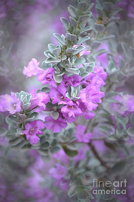 Purple Sage Poster by Deb Halloran