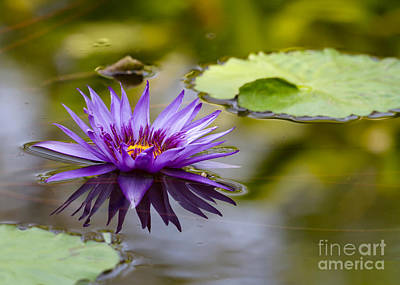 Purple Spiked Water Lily Poster