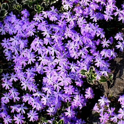 'purple Springtime' Poster