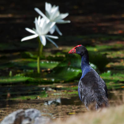 Purple Swamphen Admiring The Water Lilies Poster