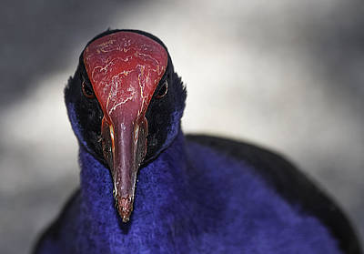 Purple Swamphen Portrait Poster
