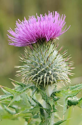 Purple Thistle Poster by Jeremy Voisey