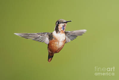 Poster featuring the photograph Purple-throated Woodstar Hummingbird by Dan Suzio