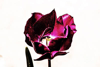 Purple Tulip Poster by Angela DeFrias