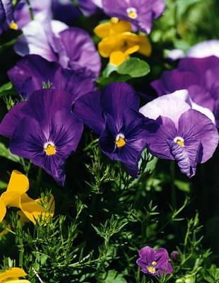 Purple Violas Poster