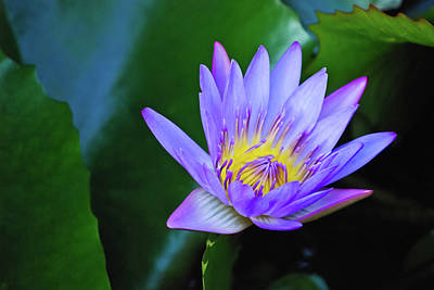Purple Water Lily Poster by Christi Kraft