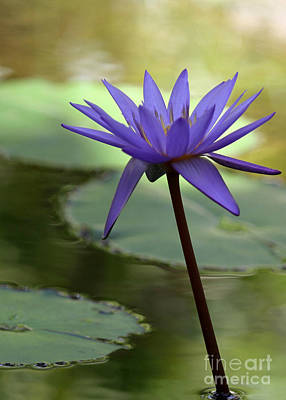 Purple Water Lily In The Shade Poster