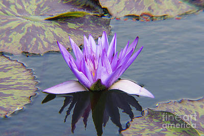Purple Water Lily With Lily Pads One Poster by J Jaiam