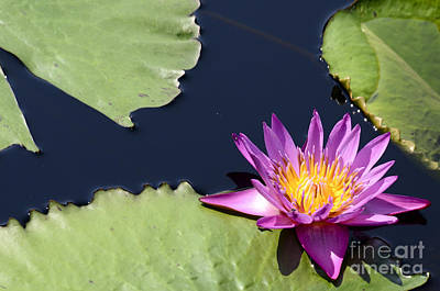 Purple Waterlilly Poster