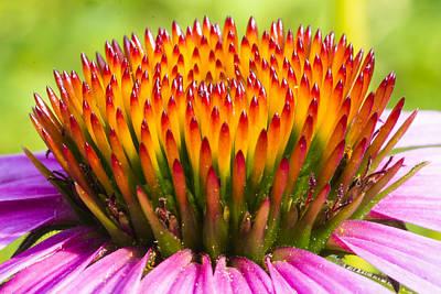 Purple Cone Flower - Echinecea Poster by Steven Ralser