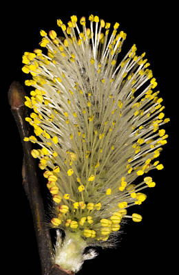 Pussy Willow Stamens Poster