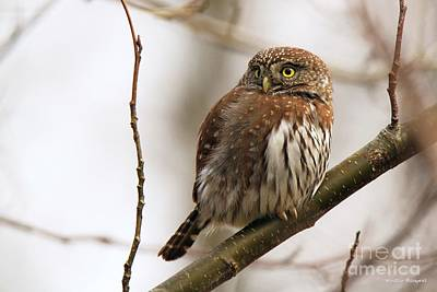 Pygmy Owl Poster by Winston Rockwell