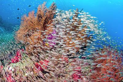 Pygmy Sweepers And Gorgonian Sea Fans Poster
