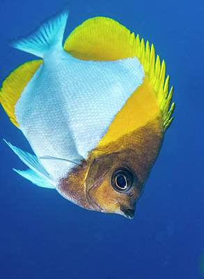 Pyramid Butterflyfish On A Reef Poster