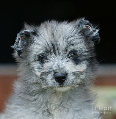 Pyrenean Sheepdog Puppy Poster