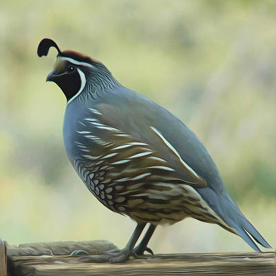 Quail On A Rail By Frank Lee Hawkins Poster