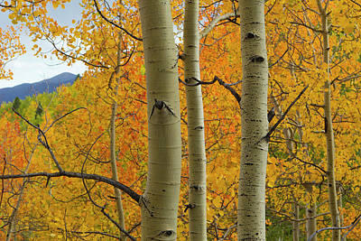 Quaking Aspen In Full Color, Populus Poster
