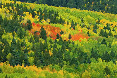 Quaking Aspen In Stages Of Color Poster