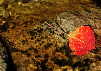 Quaking Aspen Leaf In Fall Colors Poster