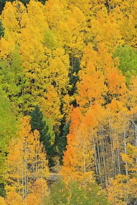 Quaking Aspens In A Fall Glow Poster