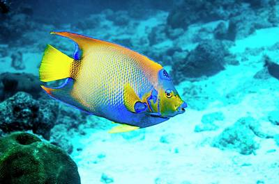 Queen Angelfish On A Reef Poster by Georgette Douwma