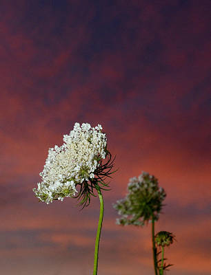 Queen Anne's Lace At Sunset Poster by Eric Abernethy