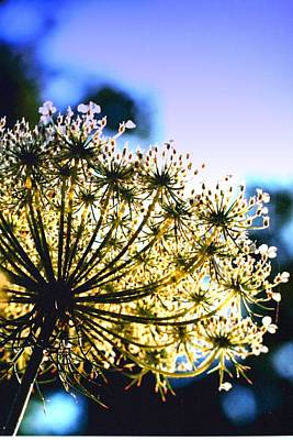 Poster featuring the photograph Queen Anne's Lace II by Diane Merkle