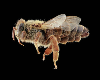 Queen Honeybee Poster by Us Geological Survey