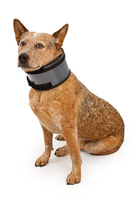 Queensland Heeler Dog Wearing A Neck Brace Poster by Susan Schmitz
