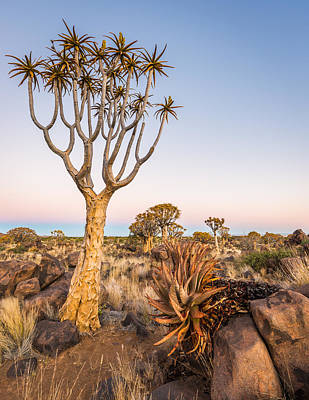 Quiver Tree And Earth Shadow - Namibia Africa Photograph Poster