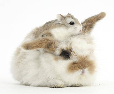 Rabbit With Roboroviski Hamster Poster by Mark Taylor