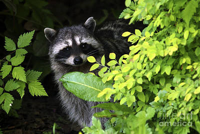 Raccoon Peek-a-boo Poster by Sharon Talson
