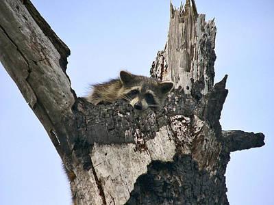 Raccoon Waiting. Lake Marion Creek W.m.a. Poster