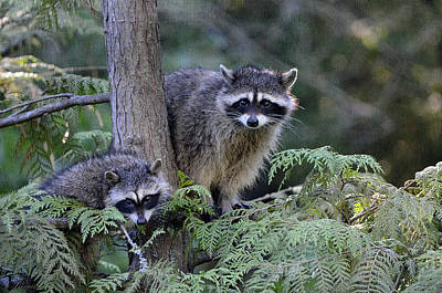 Raccoons In Stanley Park Poster by Maria Angelica Maira