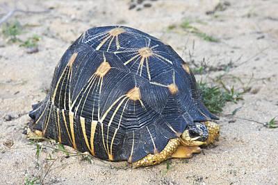 Radiated Tortoise  Astrochelys Radiata Poster by Liz Leyden