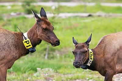 Radio-tagged Elk Poster by Jim West