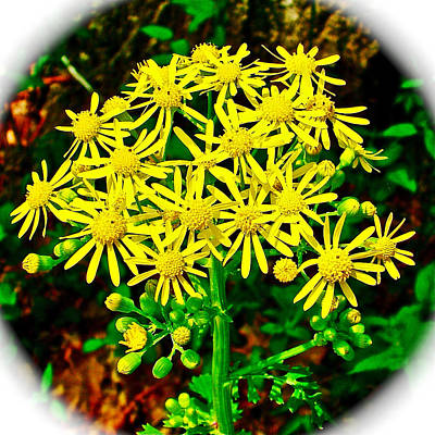 Ragwort In Donivan Slough At Mile 283 Of Natchez Trace Parkway-mississippi  Poster