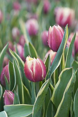 Rain Drops On Tulips Poster by Juli Scalzi