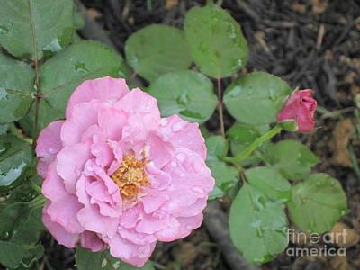 Rain Kissed Rose Poster