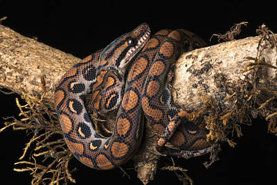 Rainbow Boa Juvenile Poster by Pete Oxford