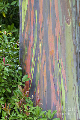 Poster featuring the photograph Rainbow Eucalyptus by Bryan Keil