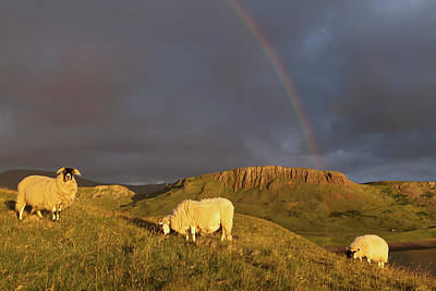 Rainbow In The Storm Clouds With Sheep Poster