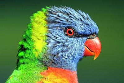 Rainbow Lorikeet Poster by Bildagentur-online/mcphoto-schulz