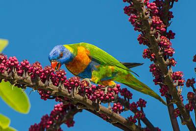 Rainbow Lorikeet Feeding On Queensland Poster by D. Parer & E. Parer-Cook