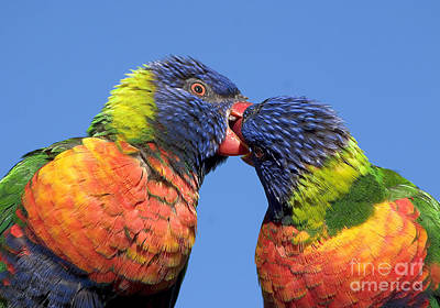 Rainbow Lorikeets Poster by Steven Ralser