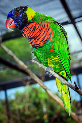 Poster featuring the photograph Rainbow Lory by Sennie Pierson