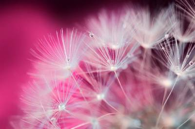 Raindrops On Dandelion Magenta Poster