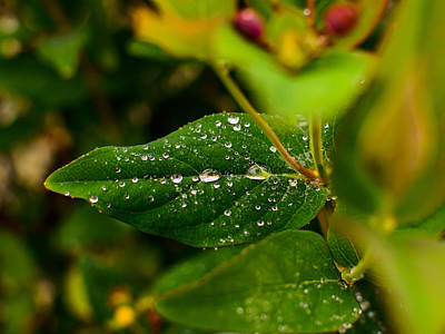 Raindrops On Green Leaves I Poster by Marco Oliveira