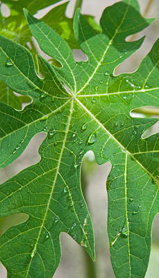 Raindrops On Papaya Tree Leaf, La Poster by Panoramic Images
